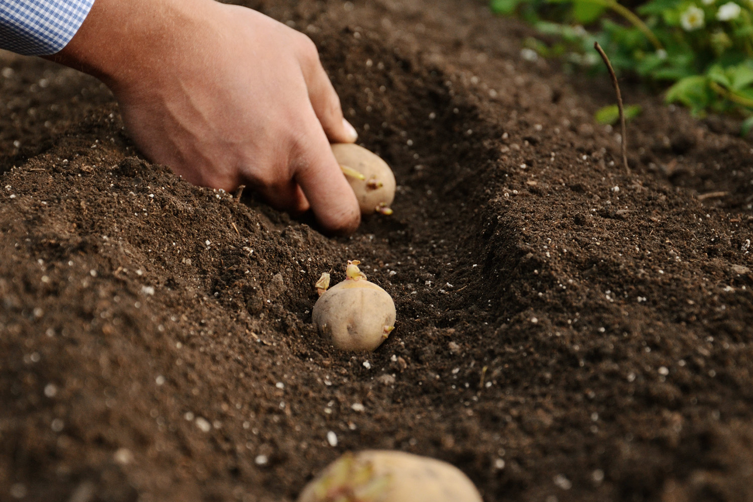 How to Grow | EarthApples | Planting Seed Potatoes